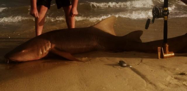 kevins shark image